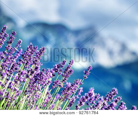 Lavender fields beneath French Alps, natural border of a beautiful little purple flowers, beauty of gorgeous nature of France