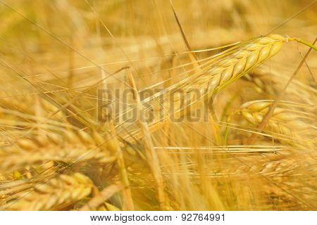 Wheat. Macro image with selective focus.