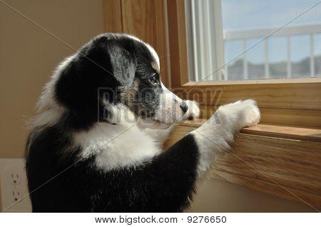 Australian Shepherd (Aussie) Puppy Watching