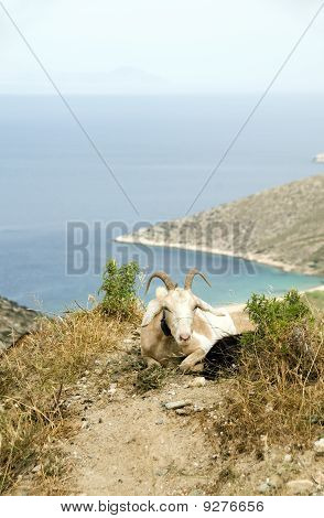 Sheep With Horns On Mountain Over Agia Theodoti Beach Ios Cyclades Greece