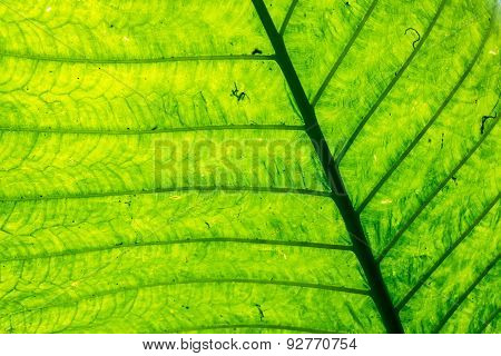 Veins And Abstract Green Leaf