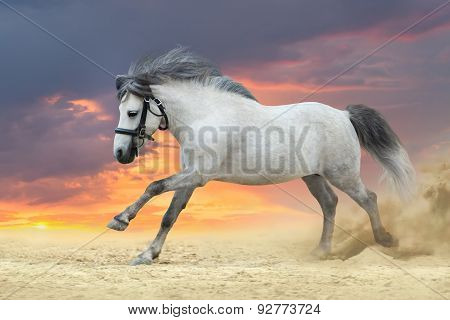 Grey pony stalliom