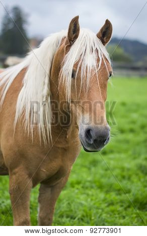 Horse In An Alpine Meadow, South Tyrol, Italy