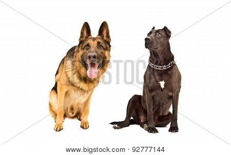 Curious German Shepherd and a Staffordshire terrier