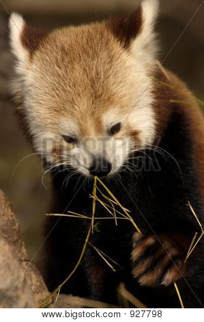 Animal - Red Panda (Ailurus Fulgens)