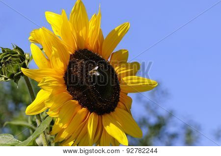 Yellow Sunflowers Over Blue