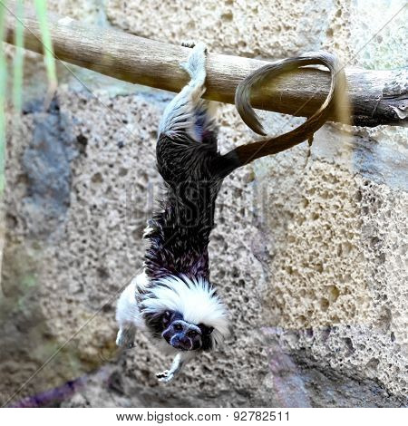 Monkey Titi Cotton-top Tamarin