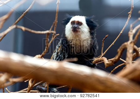 Monkey White-faced Capuchin