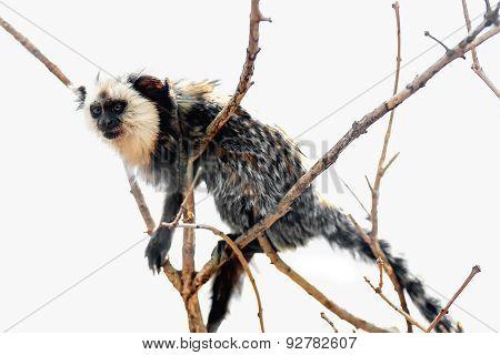 Monkey White-faced Capuchin