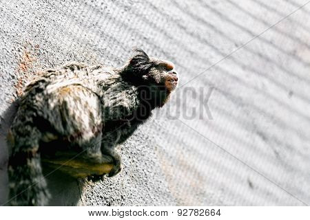 Monkey Black-tufted Marmoset