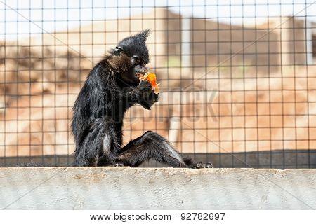 Black Monkey