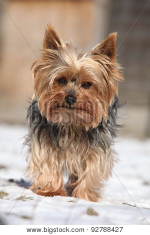 Beautiful Yorkshire Terrier In Winter