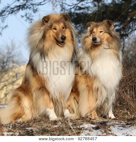 Two Beautiful Scotch Collies In The Forest