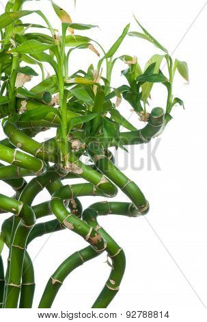 Fresh bamboo stems