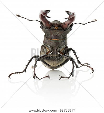 Stag Beetle Isolated On The White Background