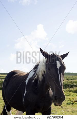 Single Horse In A Field With Blue Skies