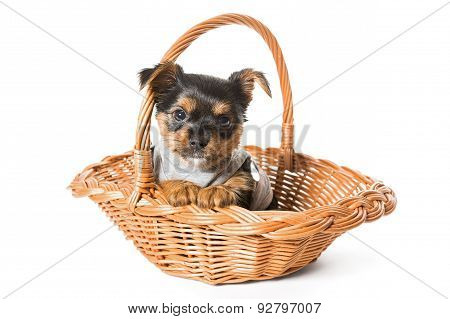 Yorkshire Terrier Puppy Sitting In A Basket