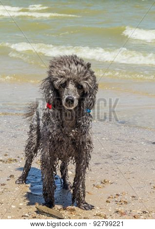 Silvery Small Poodle On A Beach