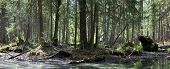 picture of alder-tree  - Springtime alder bog forest with standing water with some broken tree lying - JPG