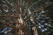 foto of sequoia-trees  - High up in the sequoia tree branches - JPG