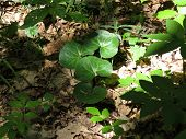 foto of cowslip  - Lesser celandine in the forest without flowers - JPG