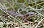 stock photo of lizard skin  - A Close up of lizard at grass - JPG