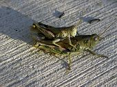 image of coitus  - Grasshoppers copulating in amorous embrace on a concrete patio - JPG