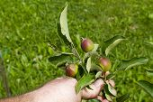 pic of dwarf  - Organic farmer checking his young apples on a dwarf tree - JPG