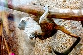 stock photo of titi monkey  - Monkey titi cotton - JPG