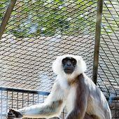 picture of hanuman  - Gray langurs or Hanuman langurs monkey in zoo cell - JPG