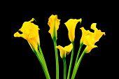 stock photo of calla  - Bunch of yellow callas on black background - JPG