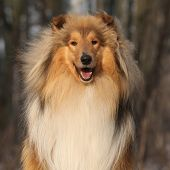 pic of collie  - Beautiful scotch collie sitting in the forest - JPG