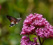 stock photo of moth  - Hummingbird Hawk Moth getting nectar from flowers - JPG