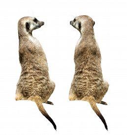 stock photo of meerkats  - Two sitting meerkats on the white background - JPG