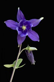 picture of columbine  - Single stem of a purple Aquilegia flower isolated on a black background also known as a Columbine the state flower of Colorado USA - JPG