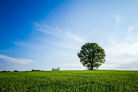 stock photo of husbandry  - Old oak tree in a field of agricultural green crop under spring blue sky - JPG
