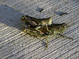 pic of coitus  - Grasshoppers copulating in amorous embrace on a concrete patio - JPG
