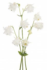 image of columbine  - Studio Shot of White Colored Columbine Flowers Isolated on White Background - JPG