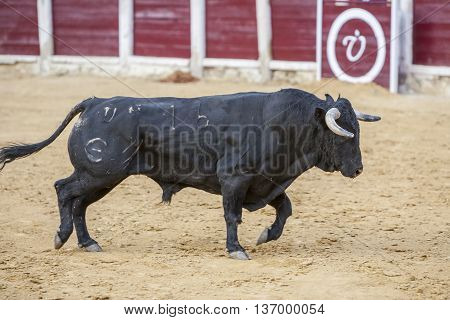 Ubeda SPAIN - October 2 2010: Capture of the figure of a brave bull of hair black color in a bullfight Spain