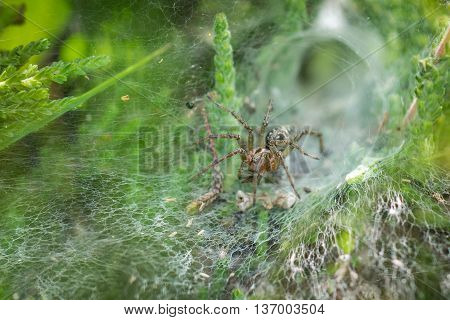 Labyrinth Spider (Agelena labyrinthica) in its web showing retreat behind it.
