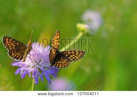 Two Heath fritillary butterflies (Melitaea athalia) on the purple flower.
