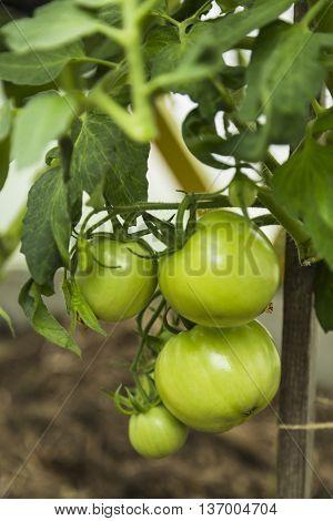 Green tomatoes on tomato tree in garden