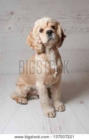 American cocker spaniel lying on light background. Young purebred Cocker Spaniel. Dog Staring.