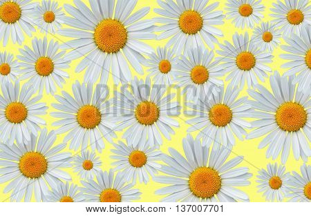 Beautiful daisy blossoms on a yellow background pattern