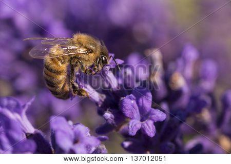Bee amongst lavender flowers taking nectar, macro