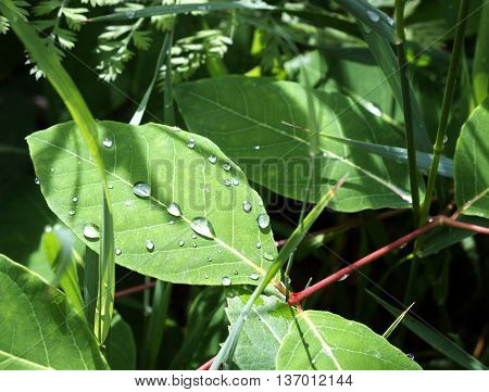 Rain drops on green leave on a summer day