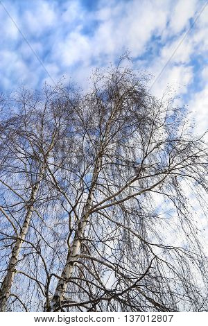 Top of winter birches against a blue sky with white clouds