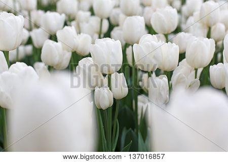 Beautiful white tulips flowerbed closeup. Flower background. Summer garden landscape design. Foreground unfocused