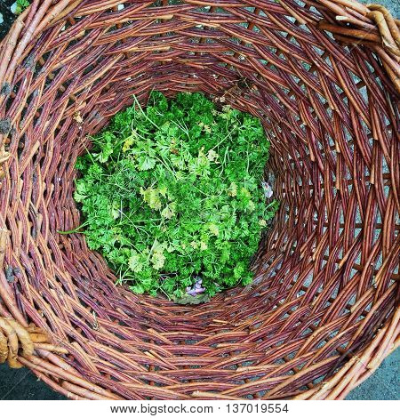 Wilted parsley in a basket for garden waste and composting.