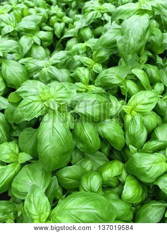 Fresh green basil growing in the garden.